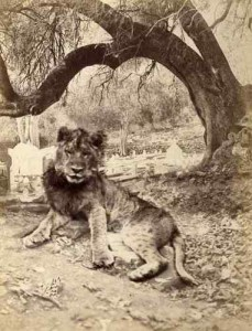Giser 1875 young lion by tree and cenetery
