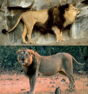 Male Indian Lion before and after!