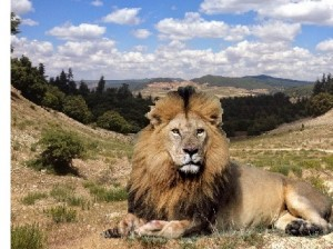 Is the prospect of a lion living wild in the Moroccan landscape just fantasy fiction?