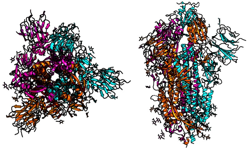 trimeric-Corvid_19-spike-protein