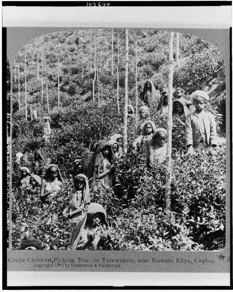 Coolie children picking tea: Talawakele, near Nuwara Eliya, Ceylon
