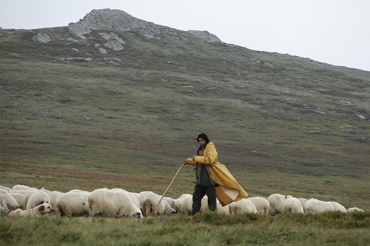 Rural sheep farmer