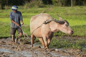ox-plough