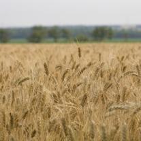 wheat-square