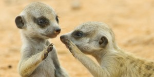 Two young suricates