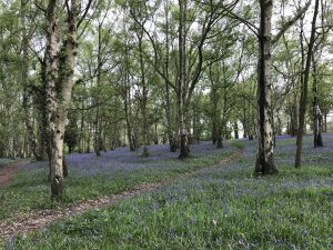 An image of Bluebells in summer on the University of Kent Canterbury Campus