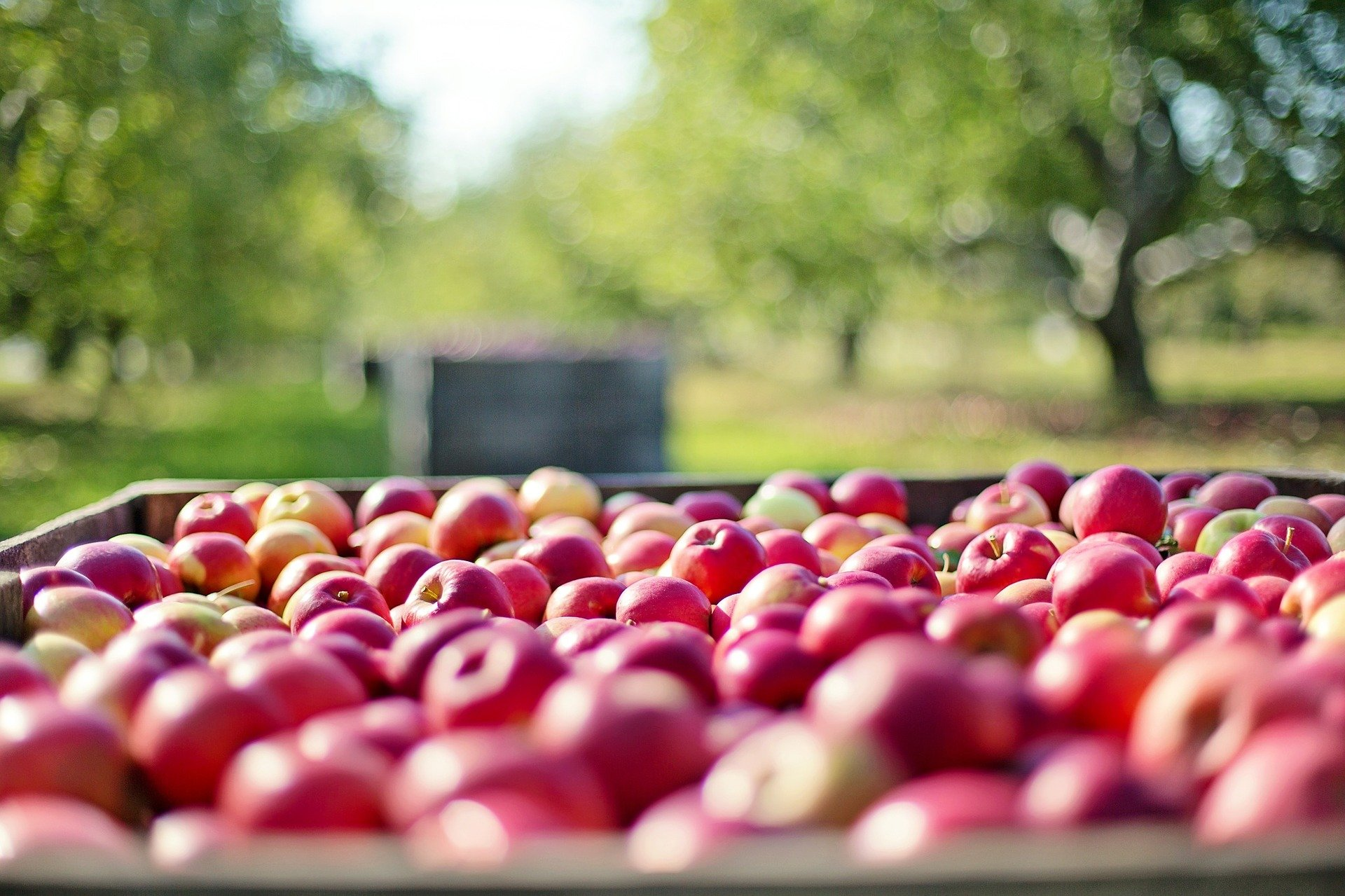 Picked apples in a crate on a farm