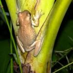 Frog132_Mouth_KU_2012 (3)