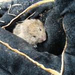 short tailed ield vole I caught under a tin