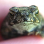 Bufo from the Lake (7)