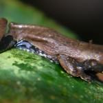 Frog186_PV2 (1)