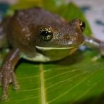 Frog38_30_08_2013_Shiringal (25)