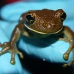 Frog38_30_08_2013_Shiringal (3)