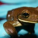 Frog38_30_08_2013_Shiringal (4)