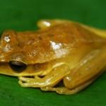 Frog6_26_08_2013_Shiringal (2)