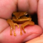 Frog6_26_08_2013_Shiringal (6)