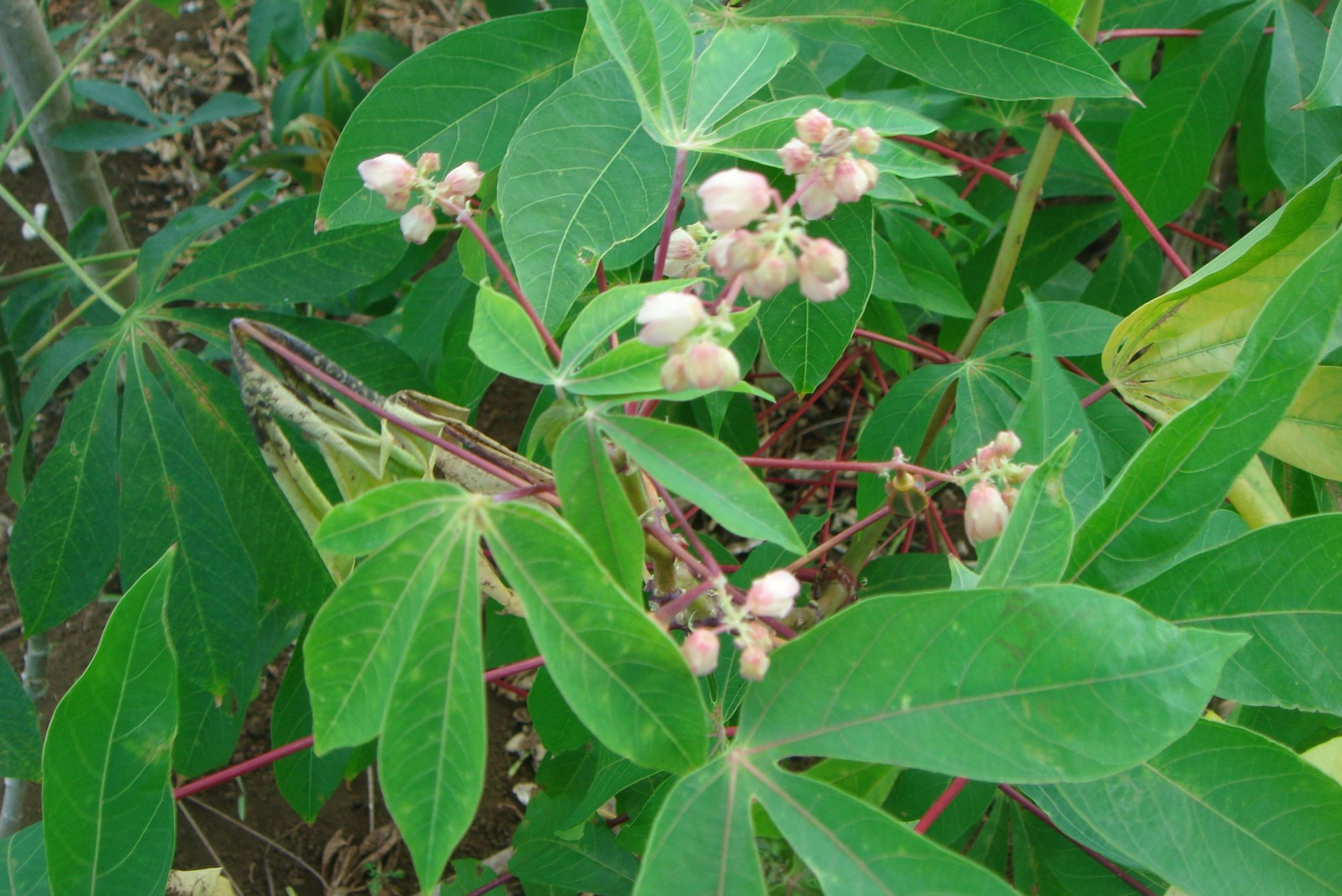 Cassava in flower