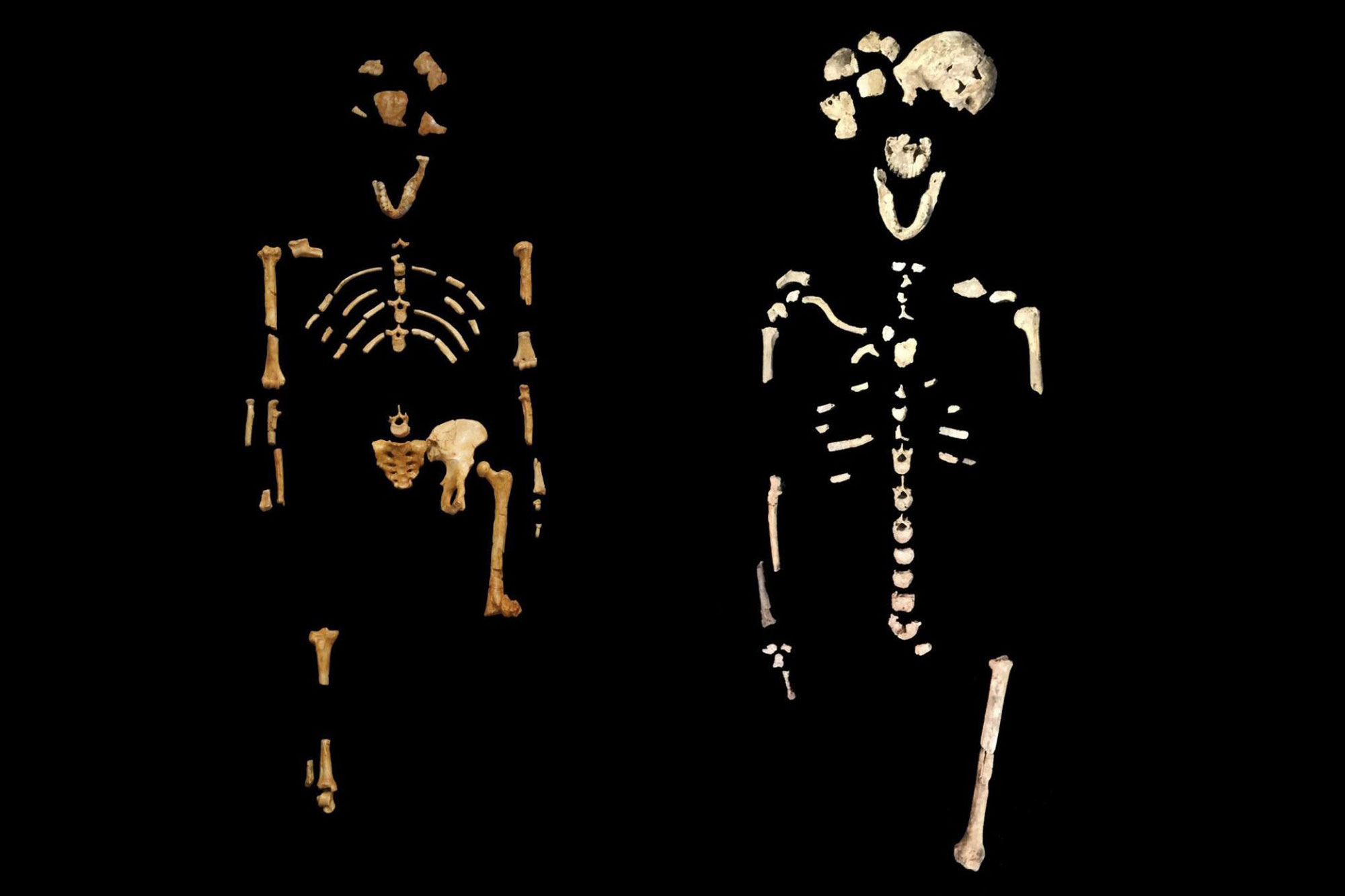 The fossil remains of two skeletons nicknamed Lucy and Neo