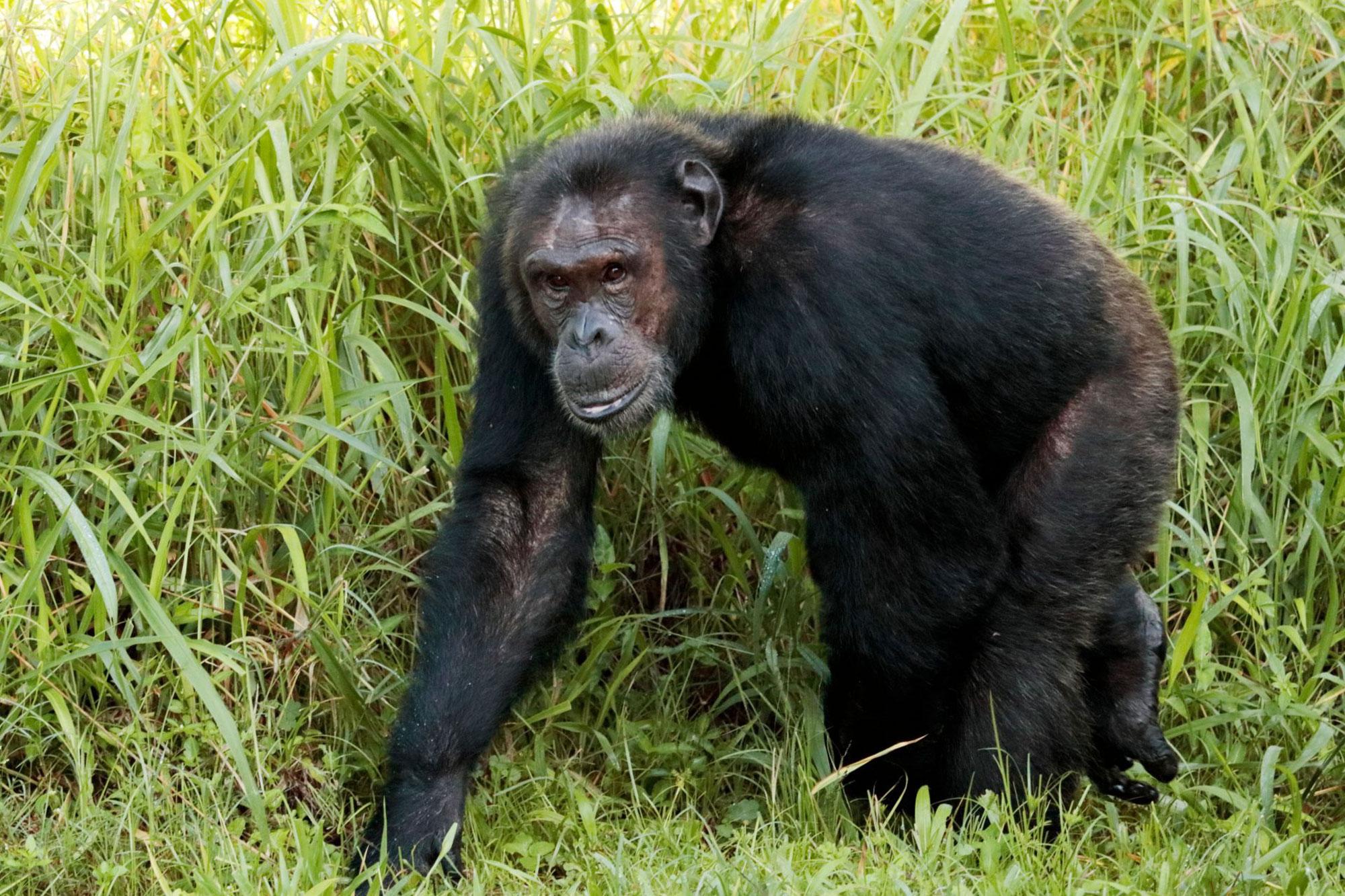 Chimpanzee, Sonso, Uganda