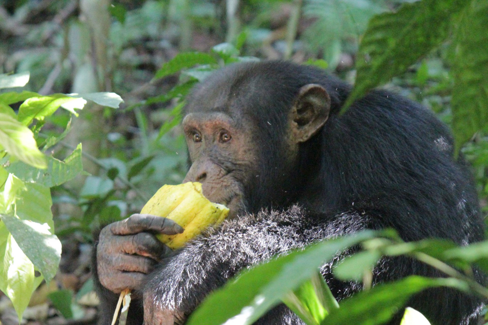 Bossou chimpanzee eating cultivated cacao fruit