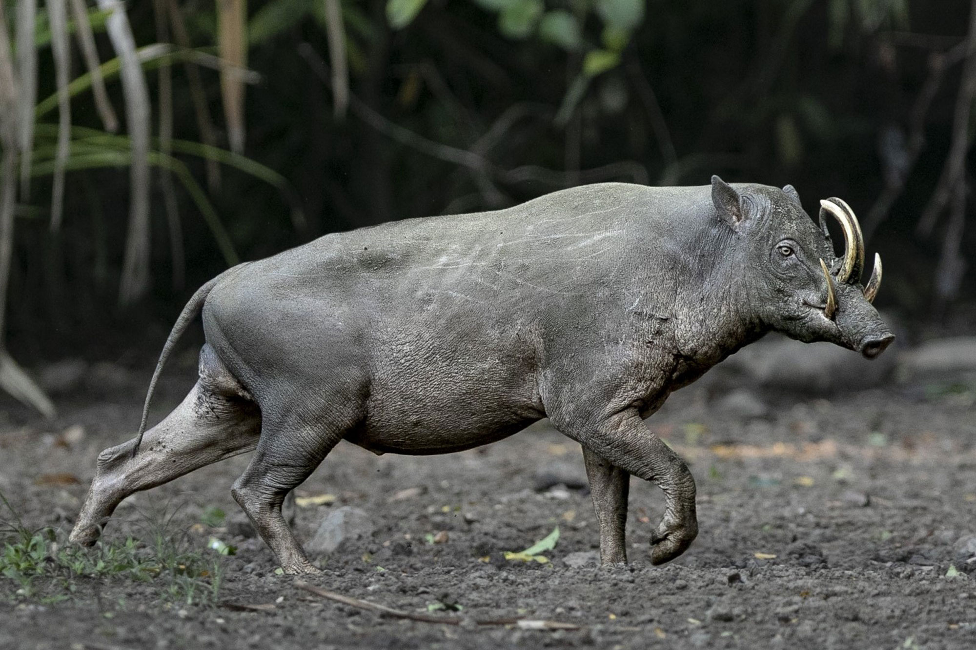The bizarre Sulawesi pig-deer (babirusa) is restricted to the island of Sulawesi. The species is declining due to trophy hunting and habitat loss, but a sizeable population hangs on in Nantu Forest, Gorontalo.