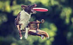 Dog jumping in air to catch a frisbee in its mouth