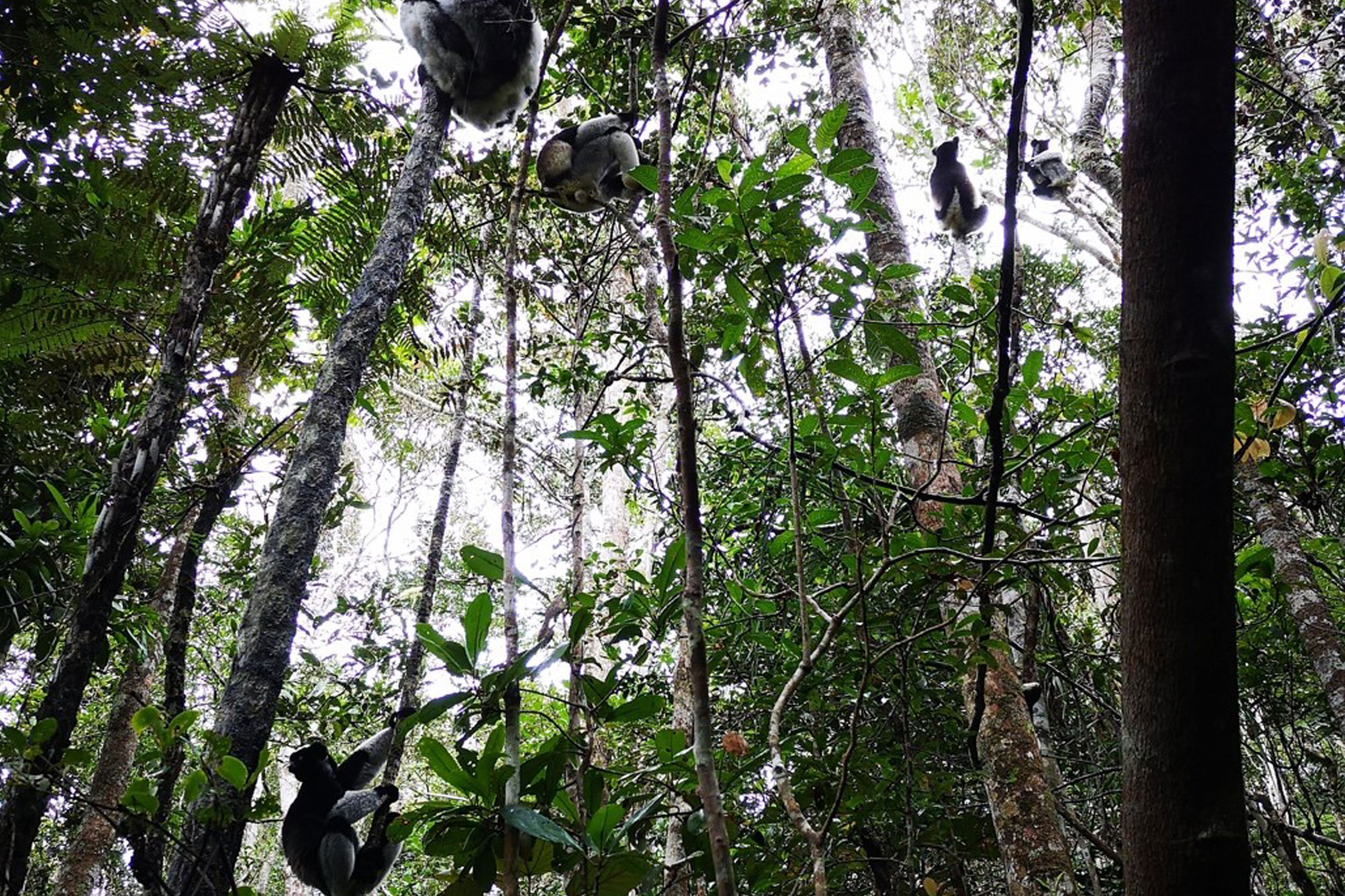 Indri lemurs in the forest canopy