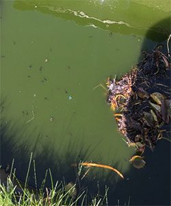 Tadpoles in a sun-dappled pond