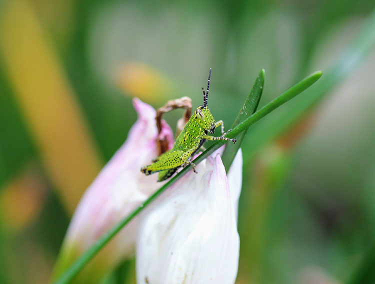 Grasshopper on a blade of grass in front of white flower petals