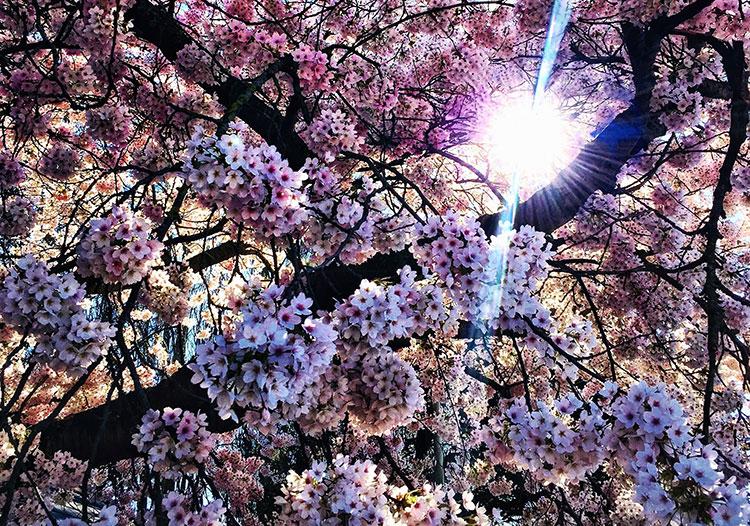 Sunlight peeping through cherry blossoms