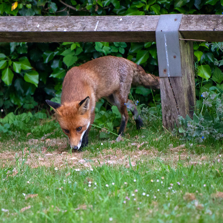 Fox sneaking onto a lawn underneath a wooden fence