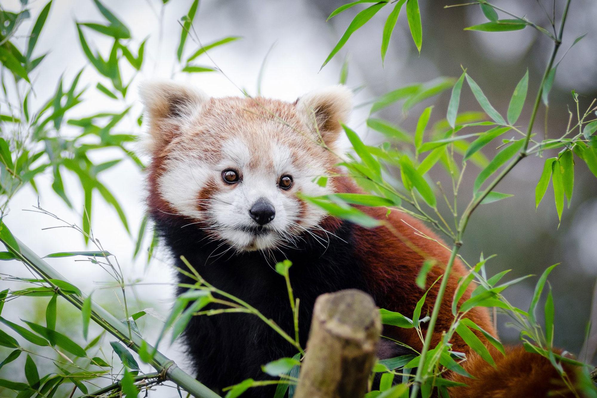 Himalayan red panda in the wild