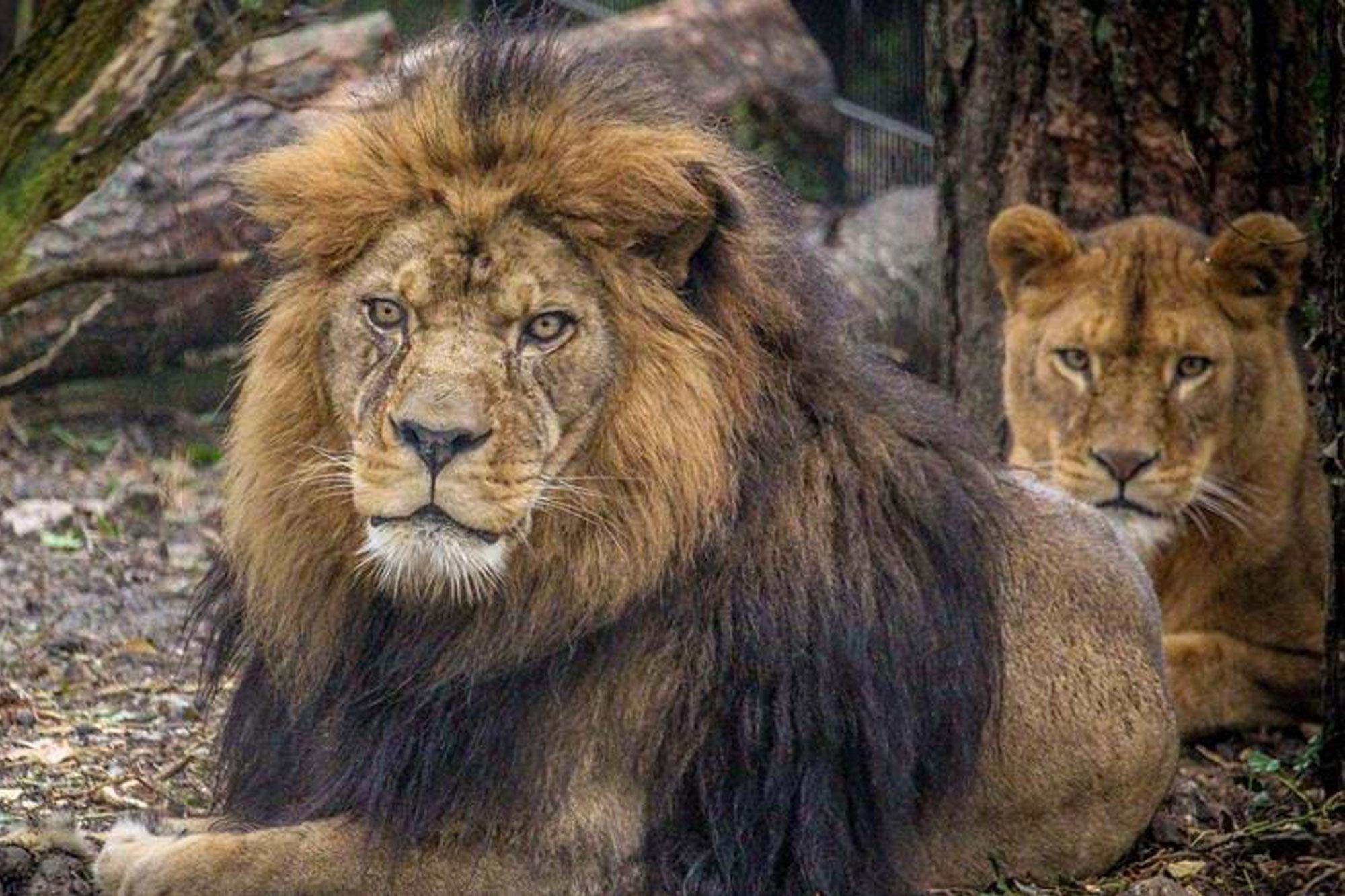 Barbary Lions at Port Lympne wildlife park, Kent