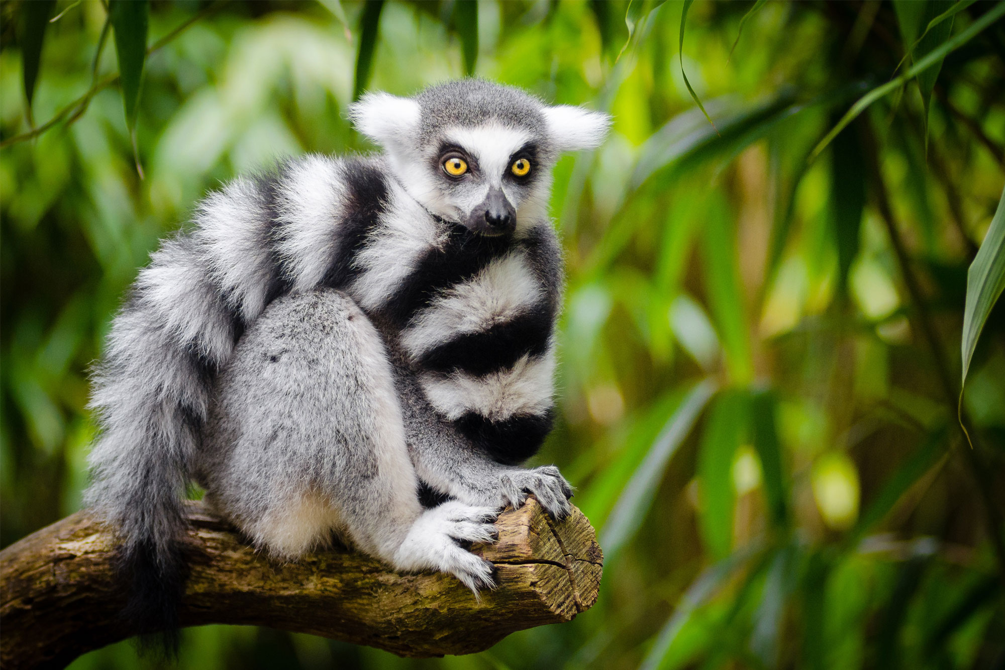 The lemur is one animal that the NNL policy of the Ambatovy Mine Development Project seeks to protect