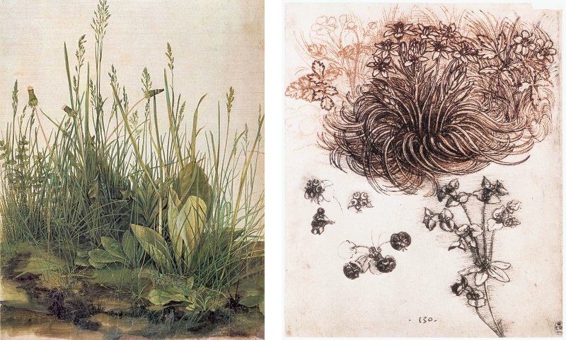 Fig.1. (left) Albrecht Dürer's The Great Piece of Turf, 1503. Watercolour and opaque, 41x31.5cm. Vienna, Graphische Sammlung Albertina. (right) Leonardo Da Vinci's Star of Bethlehem, 1510. Pen and ink over red chalk on paper, 19.8x16cm. Royal Library, Windsor.