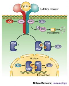 Figure 3: A schematic representation of the JAK-STAT pathway in the inhibited state. Shuai and Liu 2003, p.903