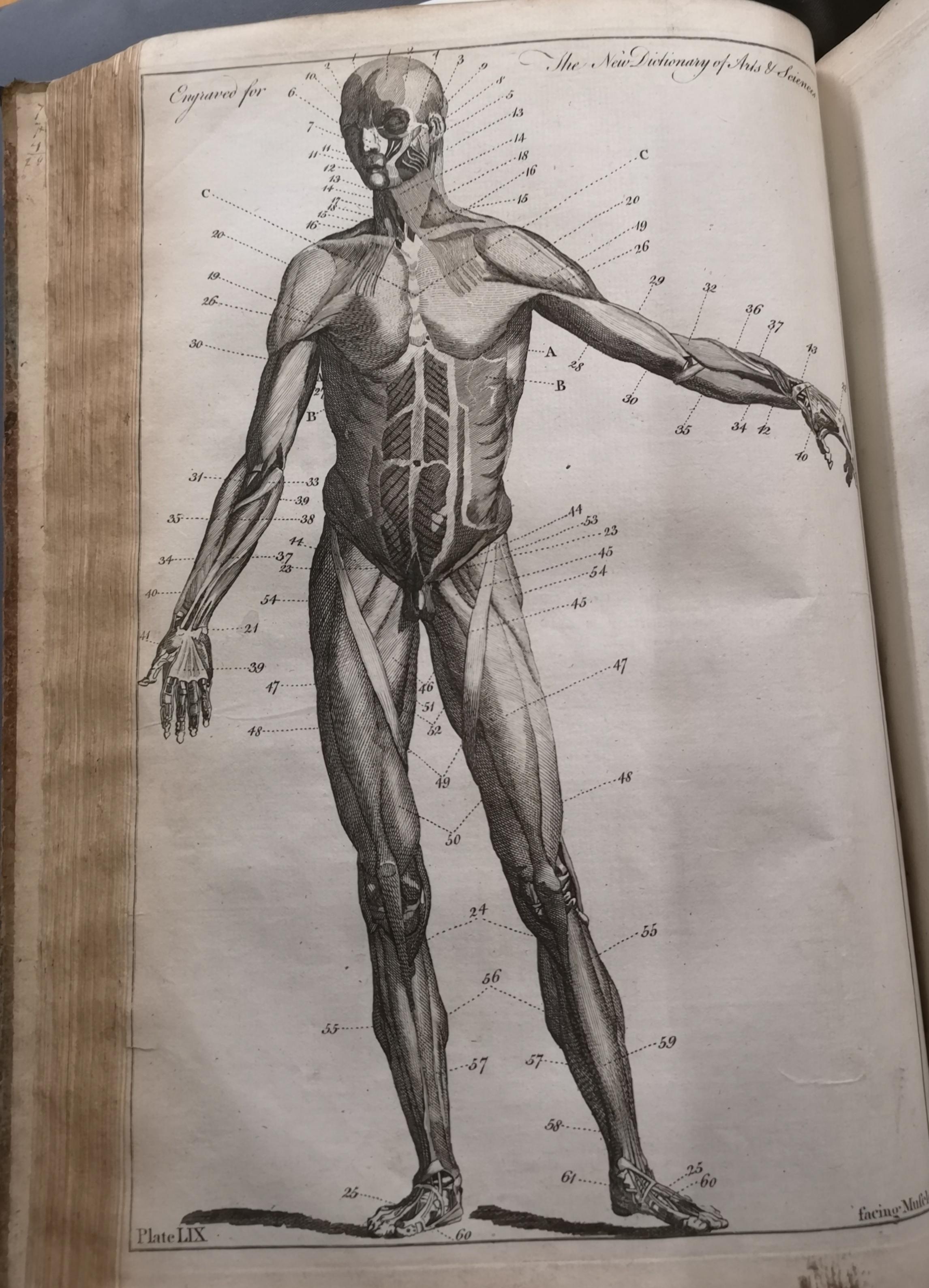 Anatomical drawing of man
