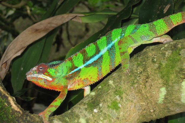DICE chameleon