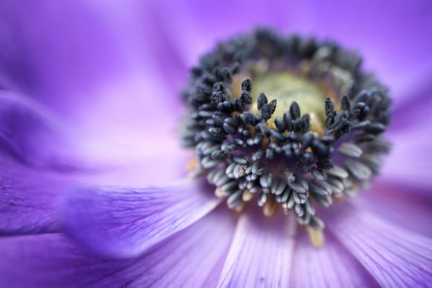 A close up of the inside of a purple flower